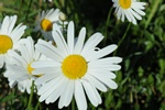 Shasta Daisy (Leucanthemum x superbum)